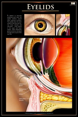 EYELIDS Eye Wall Chart #701