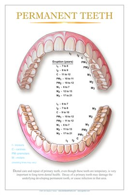"""PERMANENT TEETH"" - (white) Dental Wall Chart DWC304"