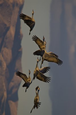 Sand Hill Cranes and Mountains