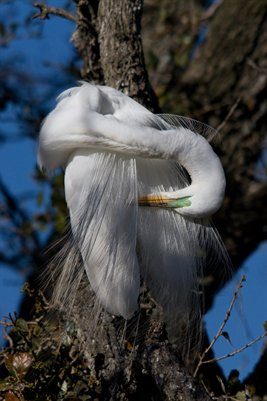 Sleeping Egret