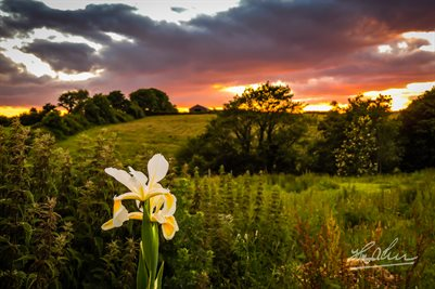 Wild Iris at Sunset Irish Poster Print