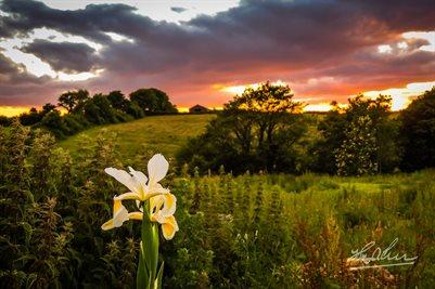 Wild Iris at Sunset Irish Poster Print