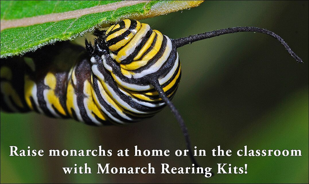 Raise monarchs at home or in the classroom with Monarch Rearing Kits!