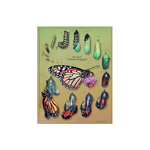 Monarch Watch Monarch Life Cycle Poster
