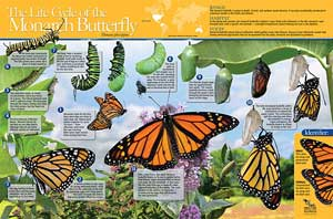 The Life Cycle of the Monarch Butterfly Poster