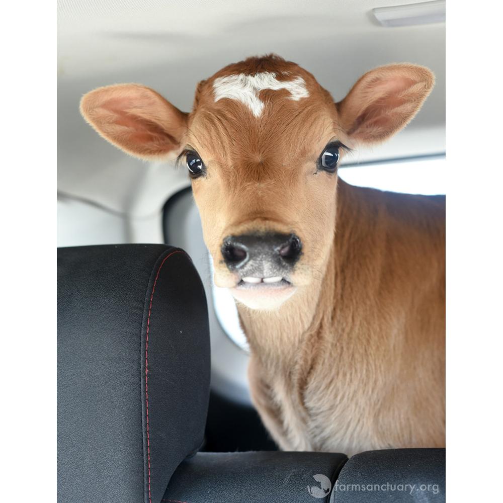 Farm Sanctuary Bovine Ambassador Milton
