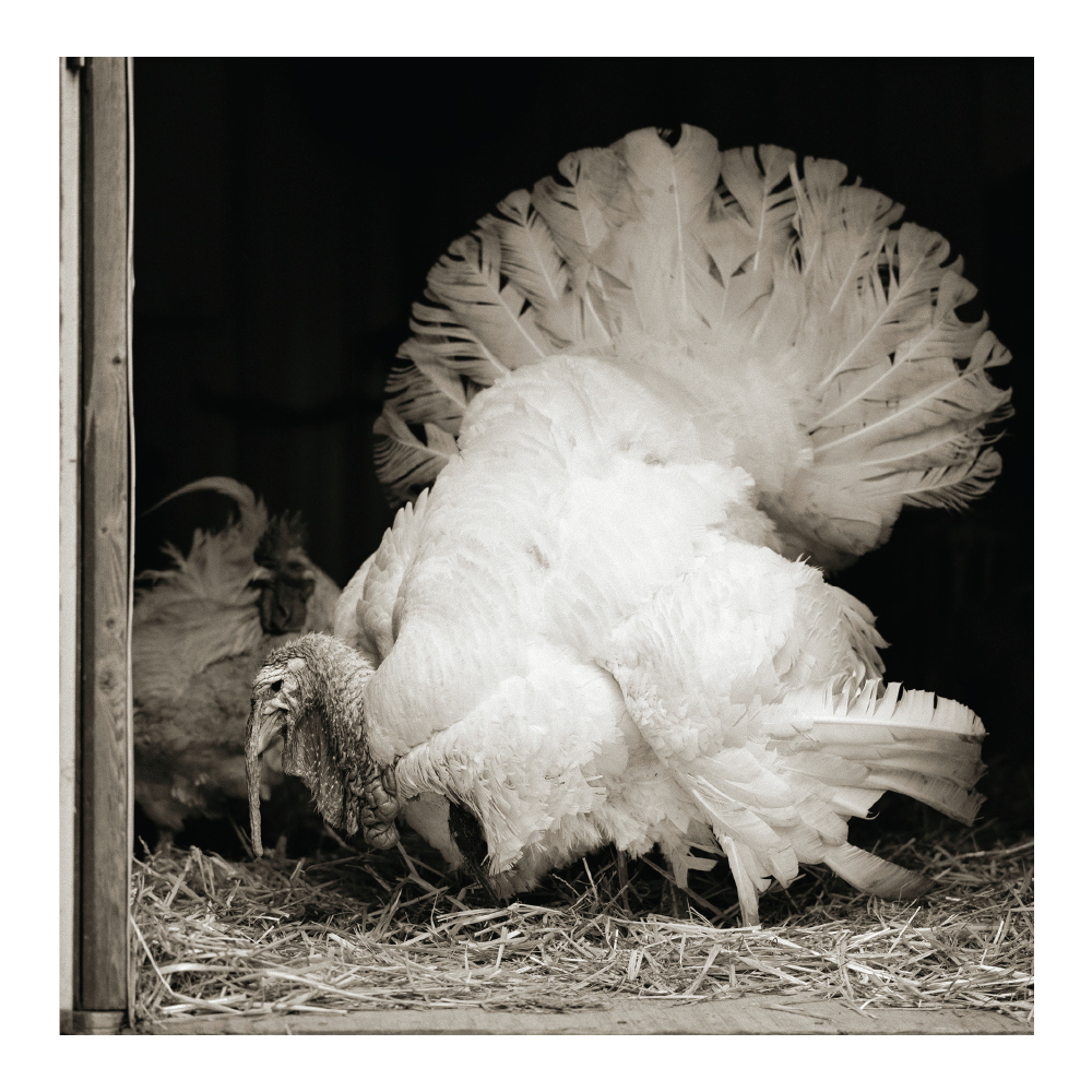 Farm Sanctuary Turkeys Allowed To Grow Old Notecards