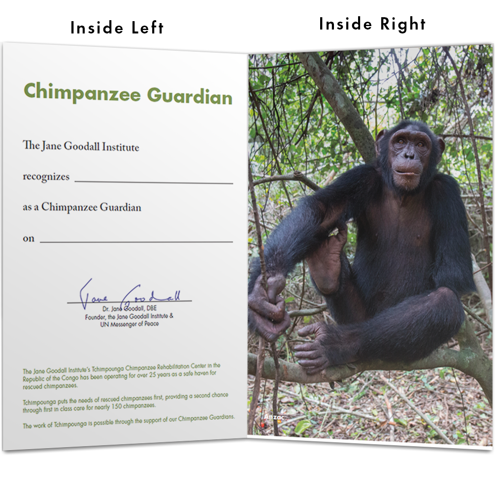 Become a Chimp Guardian for Anzac