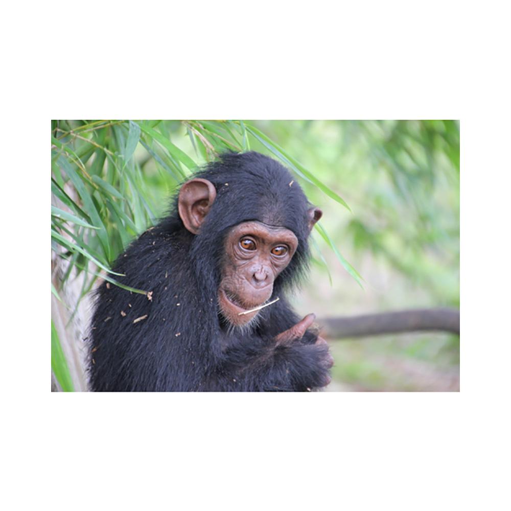 Chimp Champion - Bronze Level