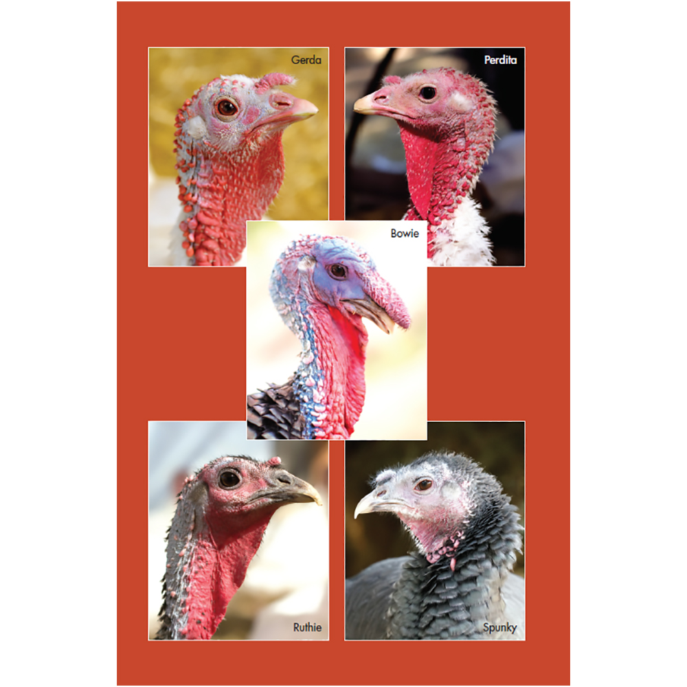 Adopt a Turkey Flock