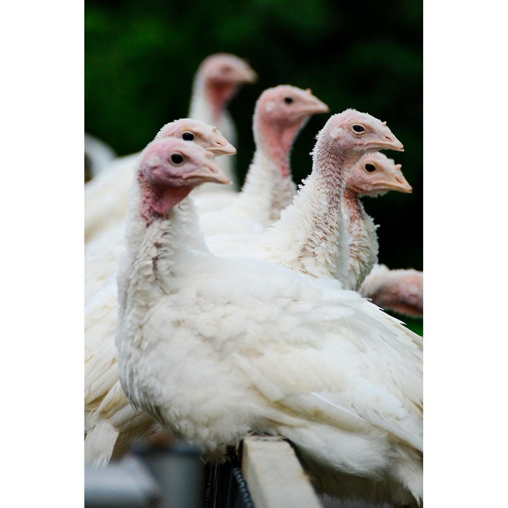 Farm Sanctuary Adopt a Turkey Project Adopt a Turkey Flock!