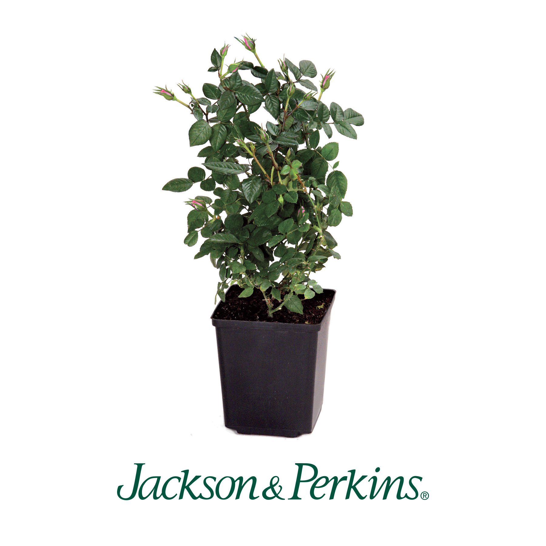 "Jackson & Perkins ""Dr. Jane Goodall Rose"" - JGI169"