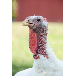 Adopt Kristoff the Turkey