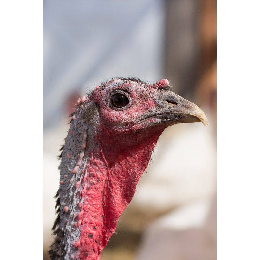 Adopt Ruthie the Turkey