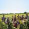20138 zedasheinsunflowerfieldsquare marlyssesimmons 002