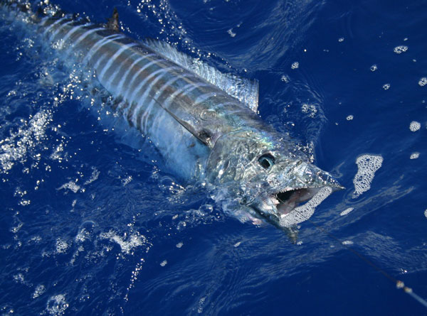 Shared Trolling Charter - Lahaina
