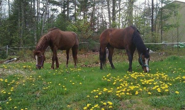 two grazing horses