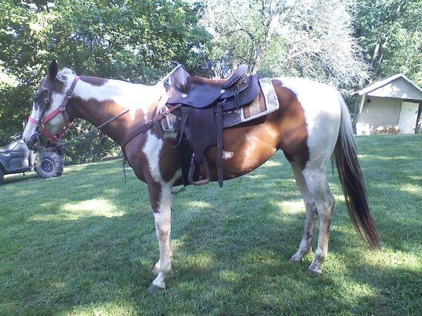 saddled hrose