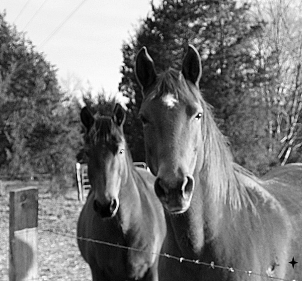 two horses at the fence