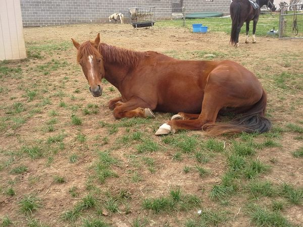 horse resting