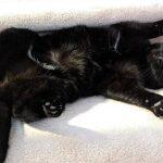 Meet Beanie The Black Kitty from Instagram!