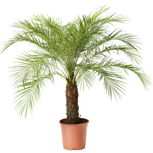 Pygmy date palm hire