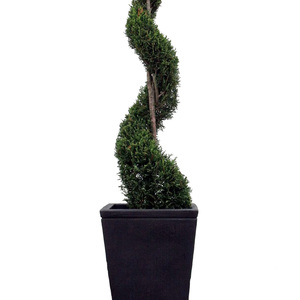 Large topiary spiral