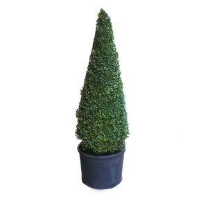 Buxus pyramid large