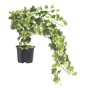 Potted variegated ivy trail