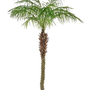 Phoenix palm supazaar tl9215 min