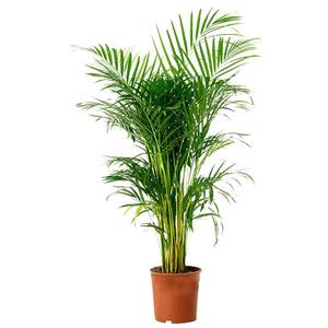 Kentia palm hire supazaar