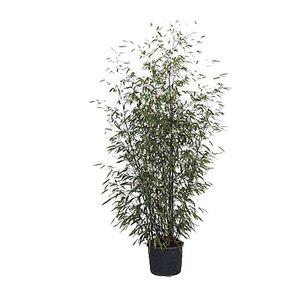 Black bamboo hire supazaar