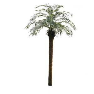 Robellini palm 2.45m supazaar rob96fr