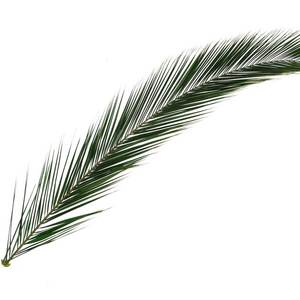 Palm frond primary supazaar