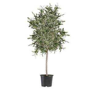 Olive tree 8ft hire supazaar