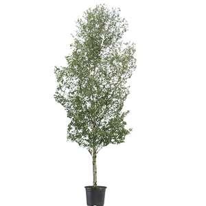Silver birch tree hire supazaar
