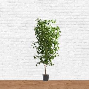 Ficus benjamina weeping fig hire