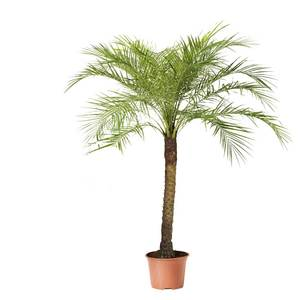 Pygmy date palm tree hire primary supazaar