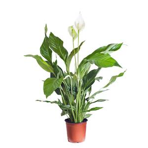 Peace lily plant hire supazaar