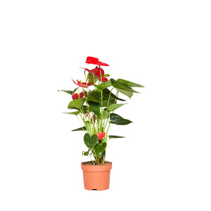 Anthurium red plant hire supazaar