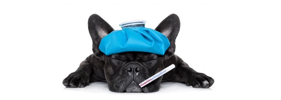 Será que cachorros podem pegar resfriado de humanos?