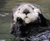 Super Sea Otters: An Interactive Story Map