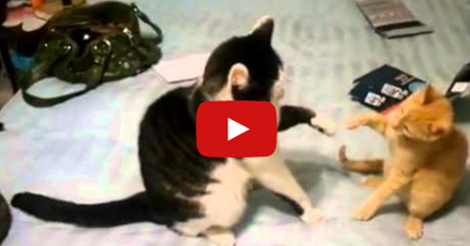 cats-play-high-five