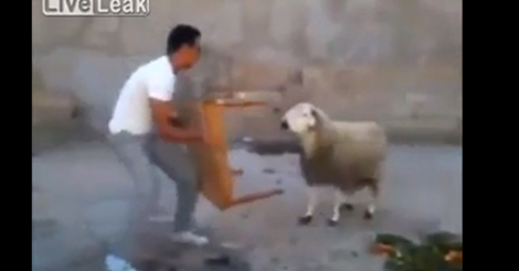 sheep-vs-table