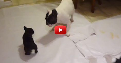French-bulldog-playing-with-his-pups
