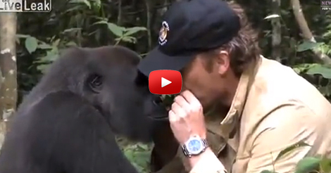 _Gorilla-reunites-with-man-that-saved-him