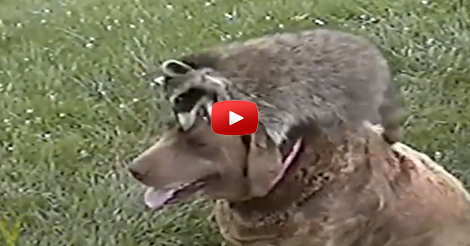 Orphaned-Baby-Raccoon-Is-Taken-In-By-Dogs