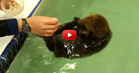 baby-otter-play