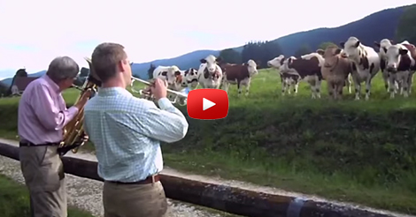 jazzforcows