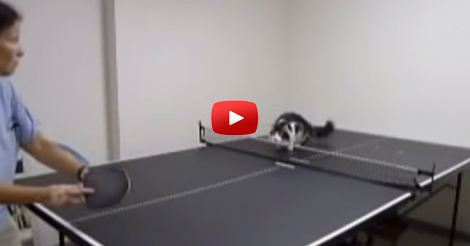 Cats-Playing-Ping-Pong